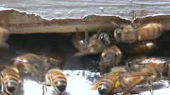 Honeybee action at the entrance to a bee hive