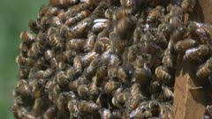 Many honeybees swarm on a removed honeycomb frame