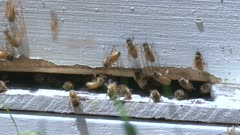 Honeybee action at the entrance to their hive