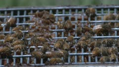 Honeybees swarm on top of an open hive