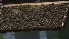 A beekeeper checks the honeycombs in a hive