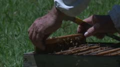 A beekeeper checks out the honeycombs in a hive