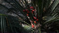 Red female seeds of the Burrawang Palm