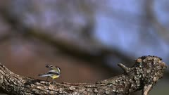 Great Tit, parus major , Adult taking off from Tree Trunk, Flying with Food in its Beak, Slow motion