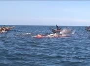 Harpooned spermwhale struggling,dragging whalehunter's boat,and gets another horpoon