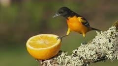 Baltimore Oriole Eats Orange