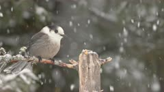 Gray Jay Flies In During Snow Storm