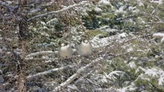 Gray Jay Pair Percehd in Spruce Tree