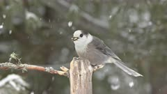 Gray Jay Fly's In For Food