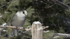 Gray Jay Searching for Food