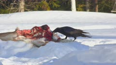 Common Raven Eating White-tailed Deer