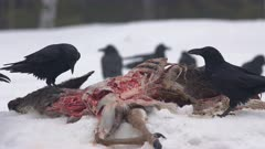 Common Ravens Eating White-tailed Deer