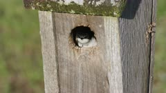 Tree Swallow in Nestbox