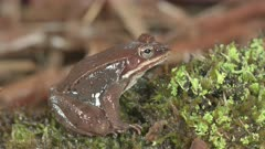 Wood Frog on Mossy Log