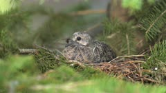 Mourning Dove Chick in Nest