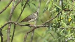 Northern Waterthrush Sings