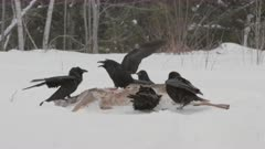 Common Ravens Feed on Deer Carcass