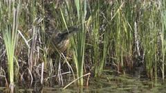 American Bittern Moves Through Marsh Hunting