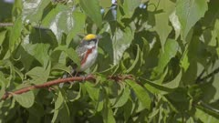 Chestnut-sided Warbler Sings