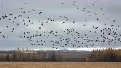 Canada Geese Leaving Grain Field