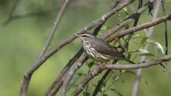 Northern Waterthrush Sings