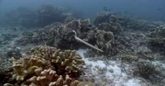 Seasnake on Coral Reef