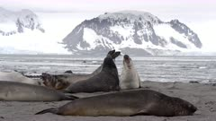 Elephant Seal Pups Play Fighting