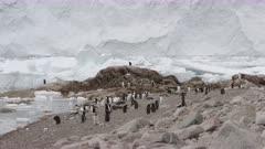 Gentoo Penguin. Pygoscelis papua. Antarctic Peninsula