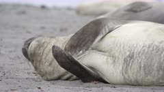 Elephant Seal Pups in the Antarctic