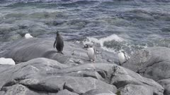 Gentoo Penguin. Pygoscelis papua. Rocky Shoreline. Antarctic.