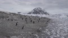 Gentoo Penguin Colony. Pygoscelis papua. Rocky Beach Antarctic.