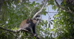 Red Tailed Monkey in Trees