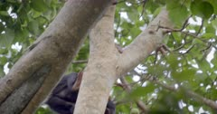 Baby Chimpanzee and Mother in tree. Uganda.
