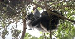 Chimpanzee with baby in tree. Uganda.