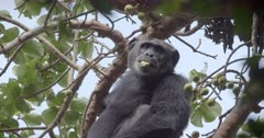 Chimpanzee in tree. Uganda.