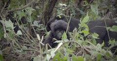 Baby Mountain Gorilla in Virunga National Park