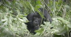 Silverback Mountain Gorilla in Virunga National Park