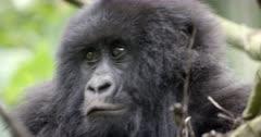 Gorillas in Virunga National Park