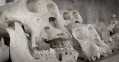 Gorilla Skulls, Virunga National Park, Democratic Republic of Congo