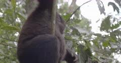 Lowland Gorillas, Virunga National Park, Democratic Republic of Congo