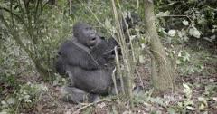 Male Silverback Lowland Gorilla, Virunga National Park, Democratic Republic of Congo