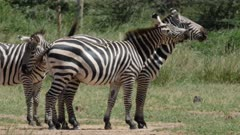 Zebras playing, biting at each other's faces