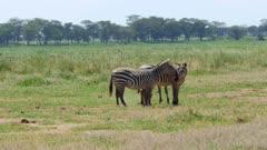 Zebra pair kissing in the savanna