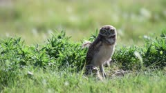 Two Juvenile Burrowing owls (Athene cunicularia) resting at the mouth of their burrow in western Nebraska. (Population decreasing)