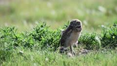 Alert Juvenile Burrowing owl (Athene cunicularia).  (No Color Grade)