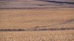 Sandhill cranes (Antigone canadensis) in flight over Nebraska Cornfield (Graded)