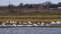 American white pelican (Pelecanus erythrorhynchos) resting in western Nebraska (Graded)