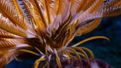 Crinoid With Crinoid Clingfish (Discotrema Criniphila)