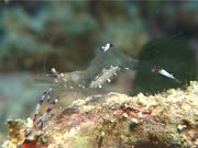 Jelly Shrimp Carrying Eggs, Feeds On Reef