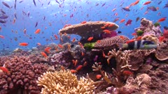 Locked Close Focus Wide Angle Shot Of Beautiful Shallow Coral Reef With Pretty Schooling Fish And Healthy Hard Corals.